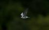 American Black Tern 3, Eccleston Mere, August 2012