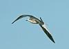 Sabine's Gull 6 - Hale, Cheshire