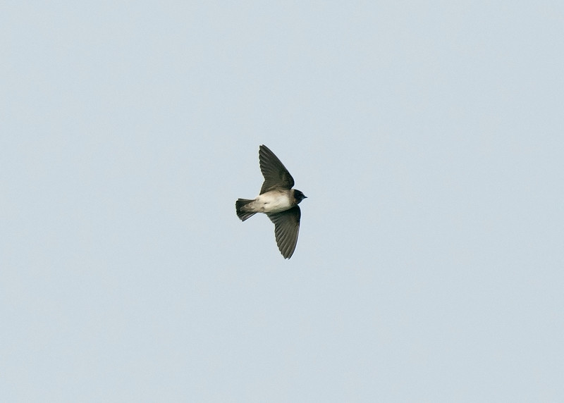 Cliff Swallow 5 Minsmere 5-11-16