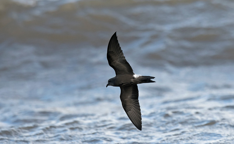 Leach's Petrel 4 New Brighton 13-9-17