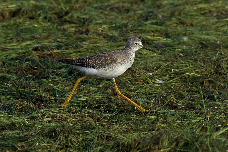 Lesser Yellowlegs 2, Aldciff, Lancs, October 2012