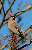 Waxwing 5 Warrington Feb 2019