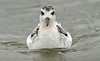Grey Phalarope 2 Crosby 22-9-18