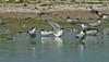 Roseate Tern, Seaforth NR, July 2013
