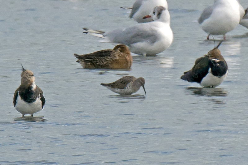 Stilt Sandpiper (record shot), Neumann's Flash31-8-2013