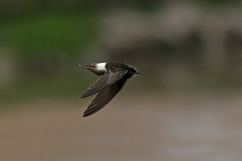 Little Swift 2, New Brighton, Wirral, June 2012