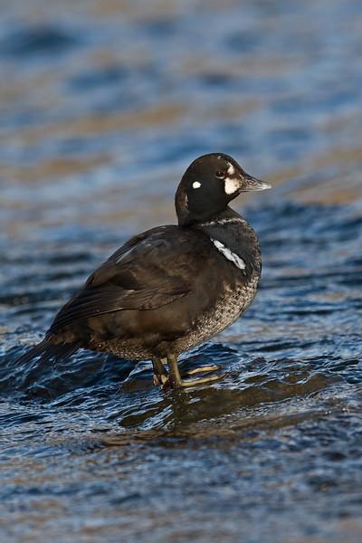 Harlequin Duck 5 1stw male Aberdeen Feb 2015
