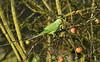 Ring-necked Parakeet 2 Liverpool Dec 2016