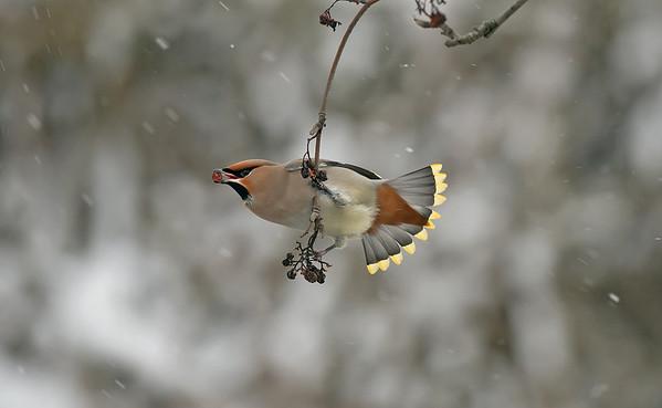 Bird Photos: Waxwing, Dipper, Wren and Accentors incl Dunnock