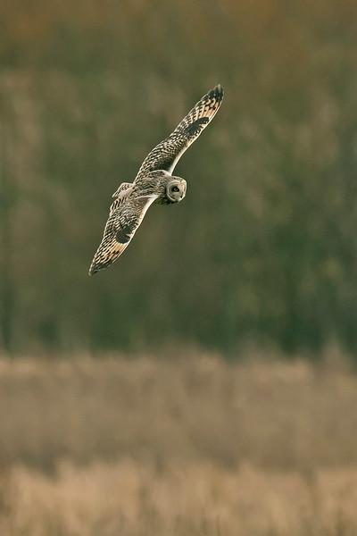 Short-eared Owl b Lunt Meadows