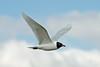 Mediterranean Gull, Otterspool 2013