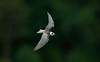 American Black Tern 1, Eccleston Mere, August 2012