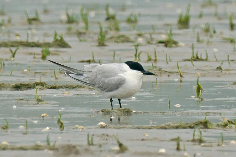 Gull-billed Tern 1, Borth, August 2012