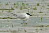 Gull-billed Tern 1, Borth, August 2012