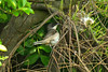 Orphean Warbler 2, Hartlepool, May 2012