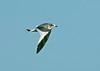 Sabine's Gull 4 - Hale, Cheshire