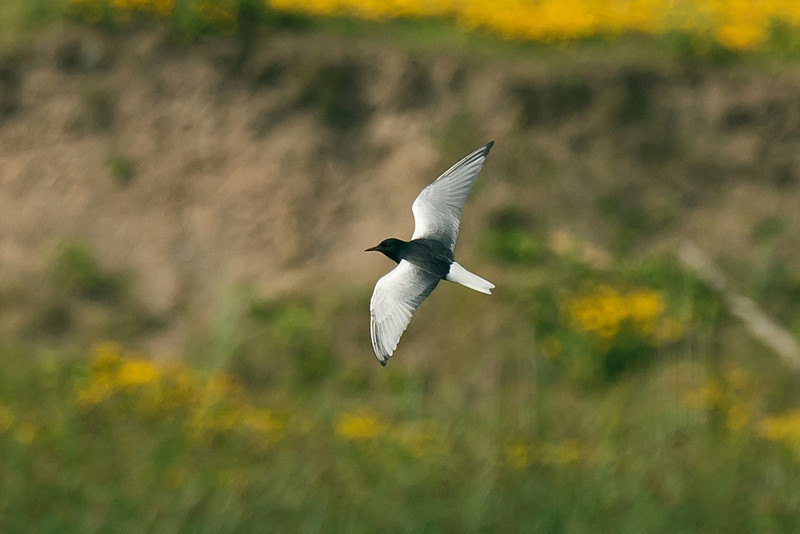 White-winged Black Tern 2 Seaforth 18-6-14