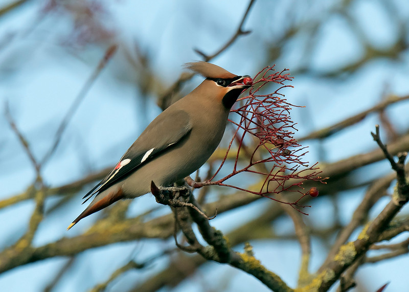 Waxwing 2 Warrington Feb 2019