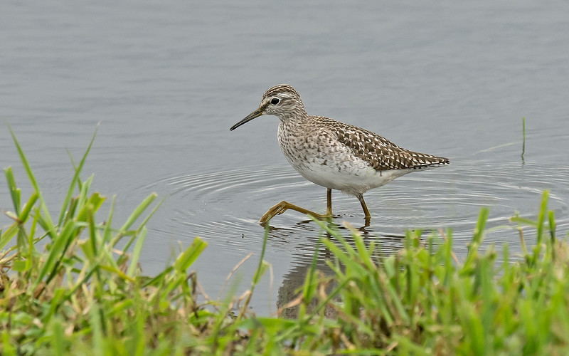Wood Sandpiper 1 Lunt NR  Lancs May 2017