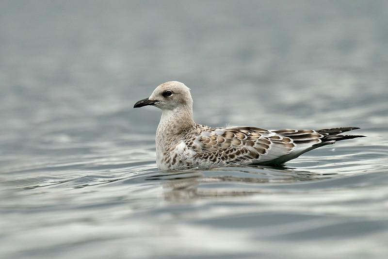 Mediterranean Gull 2 Pennington Flash August 2015
