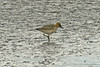 Buff-breasted Sandpiper (record shot), Hesketh Outer Marsh, Lancs Sept 2013