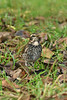 Dusky Thrush 7 Beeley