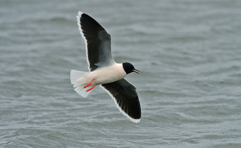 Little Gull adult summer a, Seaforth April 2012