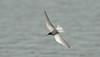 Black Tern a Seaforth May 2016