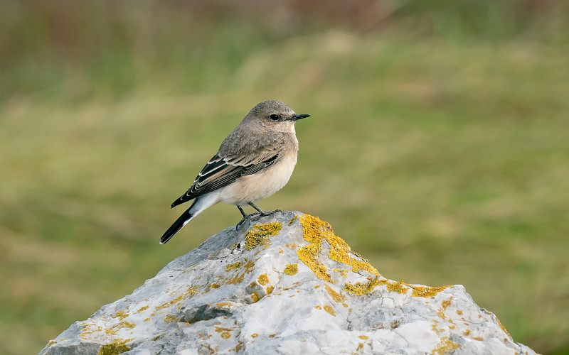 Eastern Black-eared or Pied Wheatear 1 Pilling Lancs Sept 2019