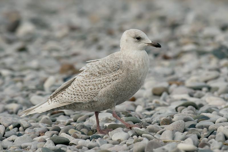 Iceland Gull 1 Pensarn Feb 2015