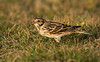 Lapland Bunting Peninnis St Mary's
