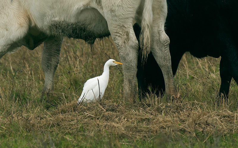 Cattle Egret 1 Marshside Lancs Oct 2017