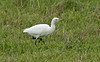 Cattle Egret a St Mary's