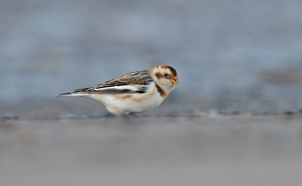 UK Rare/Scarce Birds 2012-2017