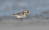 Snow Bunting Crosby December 28th 2017