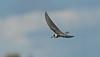 Black Tern juv d Seaforth 29-8-1025