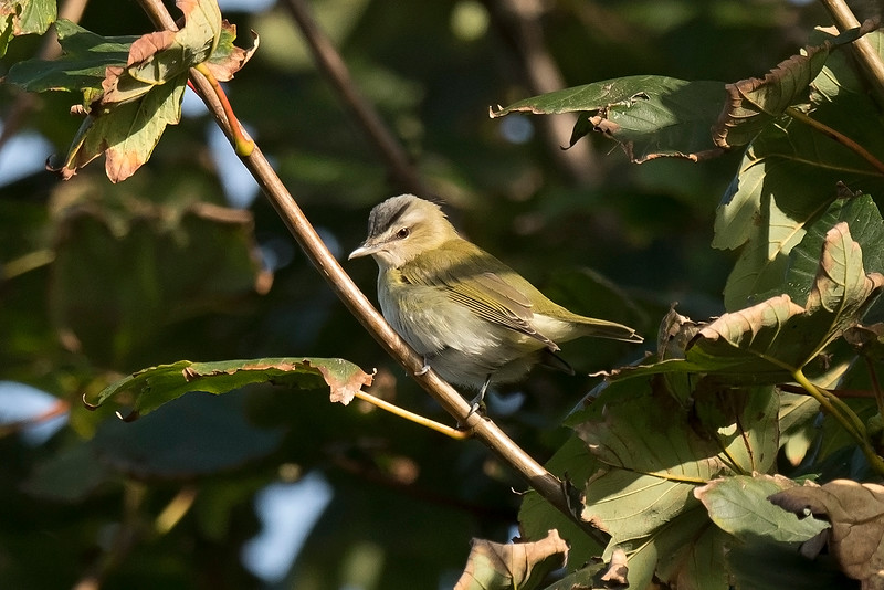 Red-eyed Vireo b Carred Dhu St Mary's Scilly