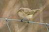 Siberian Chiffchaff 5 Burton Marsh January 2014