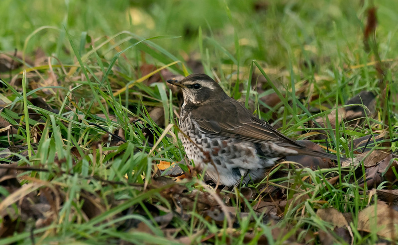 Dusky Thrush 2 Beeley Derbyshire
