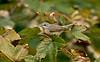 Western Subalpine Warbler d Hugh Town St Mary's