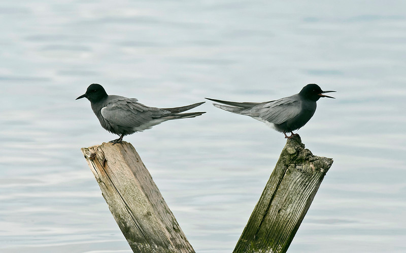 Black Terns Seaforth 1-5-17