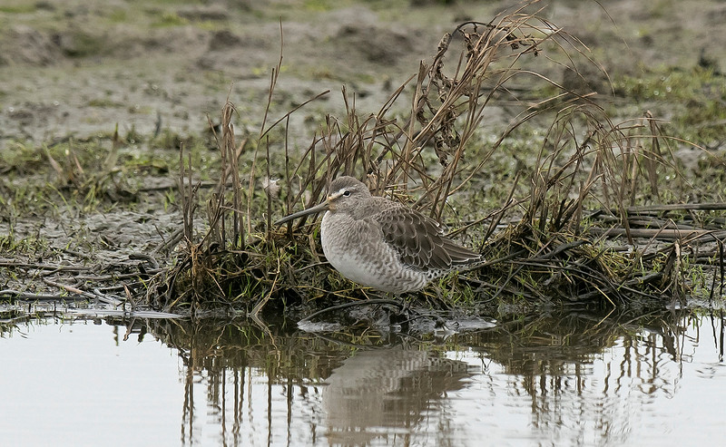 Long-billed Dowitcher Crossens Inner Marsh, Lancs Jan 2020