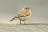 Desert Wheatear 3 Rhyl, November 2012