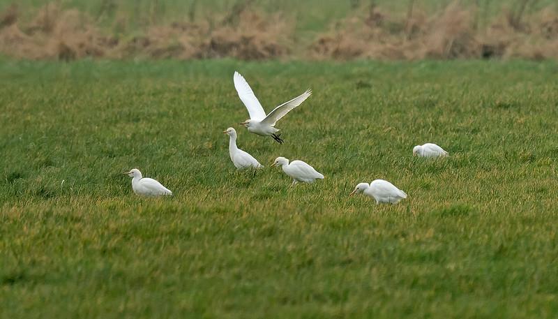 Cattle Egrets Birkdale, Lancs Feb 2017