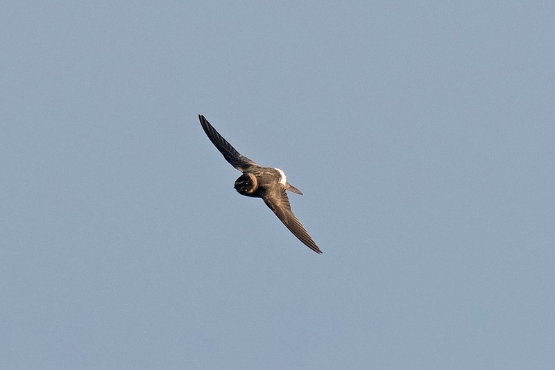 Cliff Swallow 1 Minsmere 5-11-16
