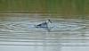 Grey Phalarope spinning Gronant October 2013