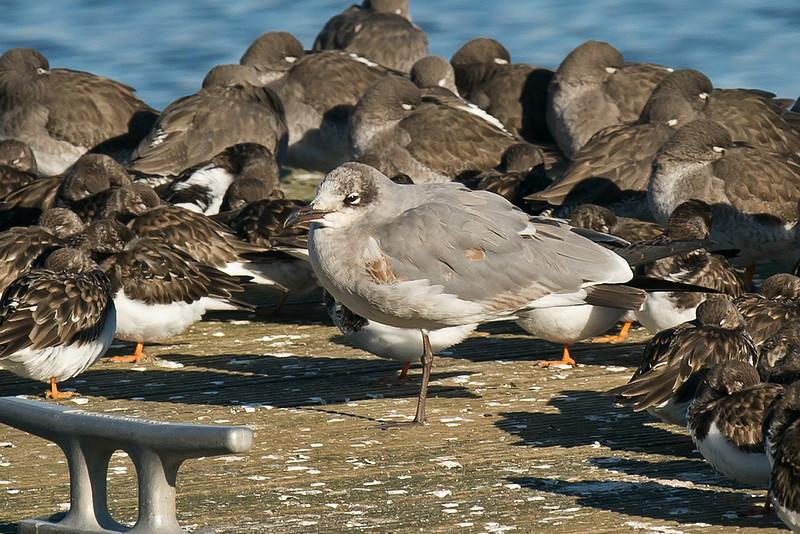 Laughing Gull 1 1stw New Brighton Feb 2015