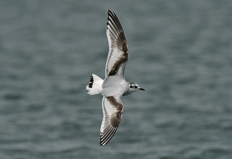 Little Gull 1st winter, Seaforth April 2012