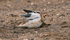 Snow Bunting; Sandy Beaches , Spurn