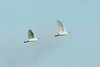 Cattle Egrets St Mary's